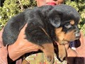 German line Rottweiler pups for sale  Bred for beauty brains and courageMales 1500 Females