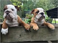 I have 4 lovely English bulldog puppies left for sale to a pet loving home they are vaccinated kc