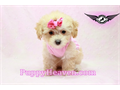 We have the smallest cutest best looking top quality puppies in the world Home raised well soci