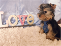 Two male yorkie puppy ready for adoption They are 3 months old and have two series of shots immun