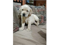 Beautiful labrador retriever puppies 2 males and 2 females available Shots and deworming up to