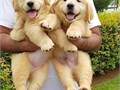 Cute Golden retriever puppies availableboth male and female they vet dewormed and on shots up till