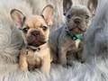 The pups will be dewormed come with a care package their health check health