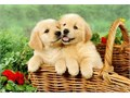 Golden Retriever puppiesAll puppies are AKC registered Puppies are raised in