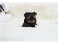 babydoll face tiny teacup yorkie female puppy ready to go UP TO DATE ON SHOTS HOME RAISED 9 WEEK