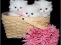 CFA registered Persian kittens available 2 Males and 1 Female Loving and playful kittens looking f