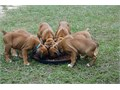 AKC boxer pups I have four males that are 11 weeks old and ready to go home They have papers and I