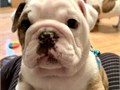 English bulldog puppies up for adoption for more info and pics please call or send text to 650487388