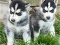 Akc Pure Breed Siberian Husky PuppiesPuppies come with two sets of puppy shots health certificat
