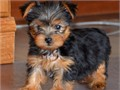 AKC registered male and female Yorkie puppies  they have had one vaccination and have been wormed f