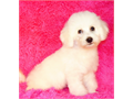 Snow white female Poodle groomed shots current to date dewormed thick double coated very sweet