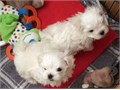 Male and female white Maltese puppies They are 14 weeks old vet checked dewormed and have all vet