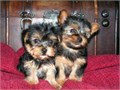 I have a male and a female purebred Yorkie available for adoption The dad weigh