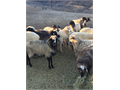 Fat-Tail cross yearling sheep for sale Organic free-range hormone-free well cared for and natur