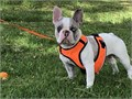 FrenchBulldog  STUDStud Available   Stud Available Merle       Lilac Carrier