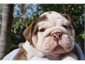 Beautiful English bulldogs puppies AvailableGiving them out due to change in work schedule They wil