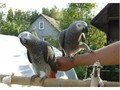 Both sex African grey birds for sale at 40000 both including cage Contact with your cellphone num