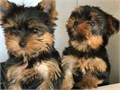 Beautiful and healthy Yorkie Puppies They all have silky soft fur These babies are looking for a f