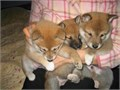 Shiba Inu puppies for sale These beautiful puppies are family raised and are very friendly They