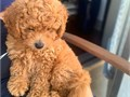 Amazing and playful golden doodle puppies for new homes Pet lovers only