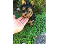 Yorkshire Terrier Male Small  000 818-653-4815