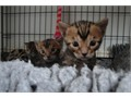 Pedigree Bengal brothers Macavity and Mungo Jerry are ready and available now for their forever ho