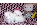 Top Quality CFA Registered Purebred White Persian Kittens from CFA Champion Parents 1200-1400 eac