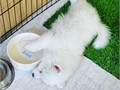 Sweet Samoyed puppies  Mom and Dad are stunning dogs with champion bloodlines and excellent conform