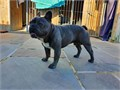 Diesel is up for public stud He is blue in color AKC registered and proven having produced a litte