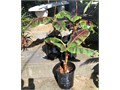 three 5 gallon hard to find Red ornamental non fruiting Banana attractive green leaves red spots Cav