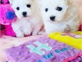 For more information text us at765 560-3262 Adorable outstanding Maltese puppies ready for thei