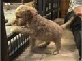 We have cockapoo puppy for adoption they are 12weeks old they are vaccinated They have taking thei
