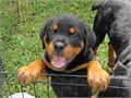 Rottweiler puppies AKC German registered born 082417 all shots  parents on premises Pics by  gl