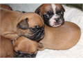 French Bulldog Male Female Small  110000 My babies are the and have lots of home training wit