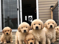 Golden Retrievers are some of the most Adorable puppies you can ever come across mostly mine They