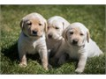 Accepting 100 deposits for AKC labrador retrievers All yellow 2 female and 8 male They will be re