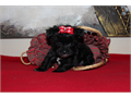 Meet Levin a solid black Yorkiepoo Dob 8-31-17 tiny with precious babydoll face short legs and comp