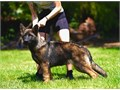 6 month old male Big thick boy Has a tony of training already Would make a top sport dog or calm