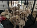 Puppy ID670021DOBJanuary 22 2021AvailableMarch 19 2021ColorGoldenMoms Weight
