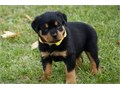 Rottweiler Puppies for Sale AKC Registered10 weeks old3 boys  3 girlsDa