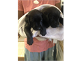 CKC registered black female Labfirst set of shots and wormed adorable Mother is CKC registered