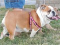 AKC ENGLISH BULLDOG ADULT FEMALE is a beautiful red and white standard and loves people of all ages