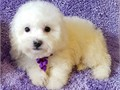 Litter of AKC Bichon Frise puppies12 weeks old 2 boys leftAKC limited pet homes onlyChampion