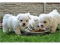 We have one beautiful male and female Maltese puppies left for adoption They ar