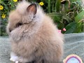 Adorable Purebred Dwarf Double Mane Baby Lionhead Rabbit from Show Lines Beautiful thick coated b