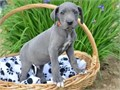 Great Dane puppiesAll puppies are AKC registered Puppies are raised in my hom