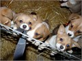 well trained Pembroke Welsh Corgi puppies for salewell trained Pembroke Welsh Corgi puppies for