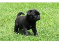 Appealing Pug PuppiesText 970 316-3173 for more info