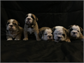 English Bulldog puppies I have 3 males 2 females born 03-08-2017 excepting a deposit to put a puppy