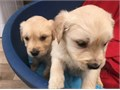 I have a gorgeous of Golden Retriever Puppies looking for their new forever home They are AKC Re